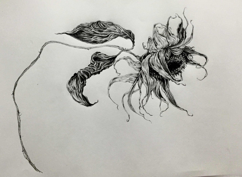 Pencil Drawing Sunflower Nolita Jpn